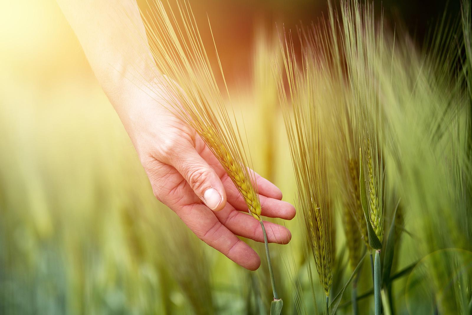 Människohand i kornfält
