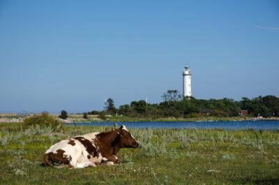 Ko på fält vid vattnet