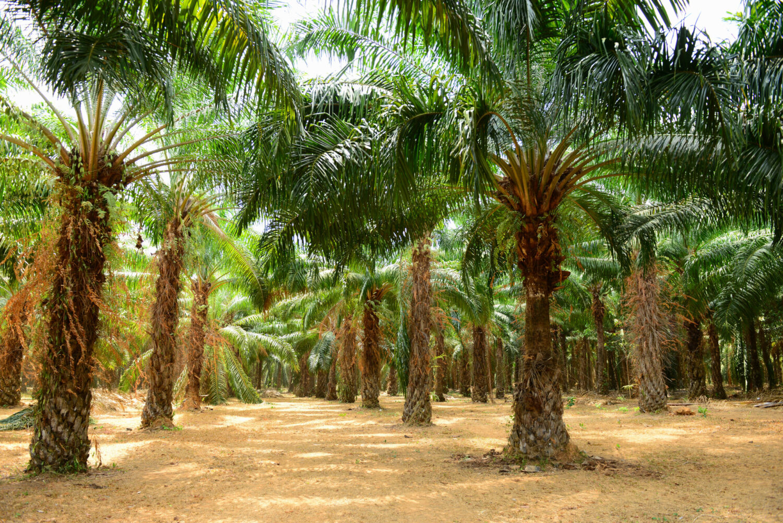 Palmplantage