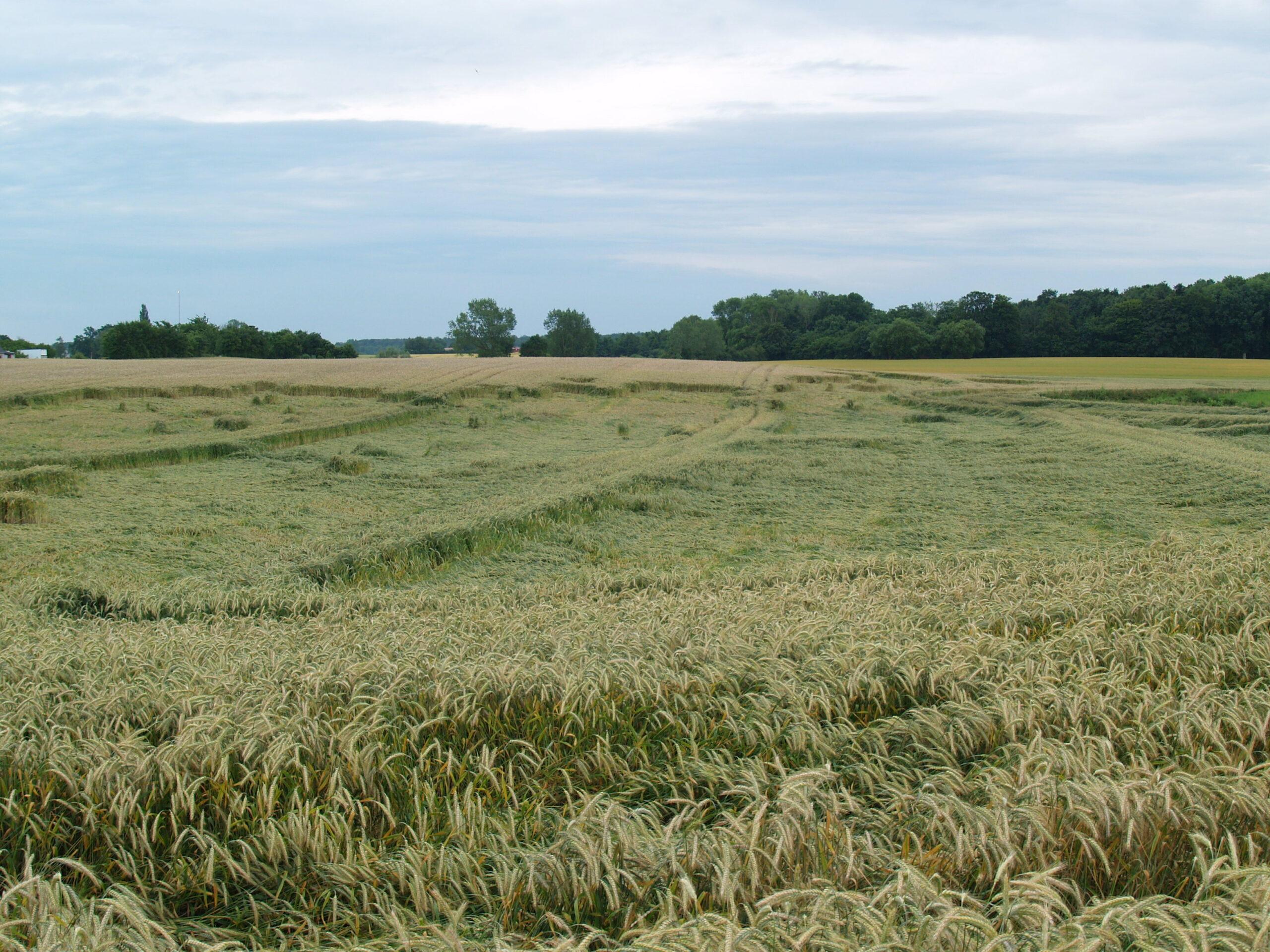 Tillväxtreglerad gröda