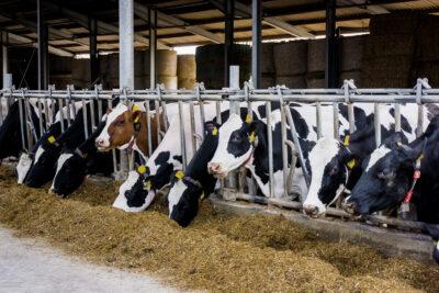 Svarta och röda mjölkkor vid foderbord
