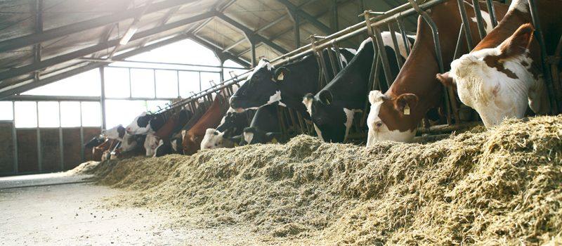 Kossor i ett stall som äter