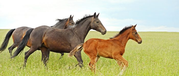Hästar på äng