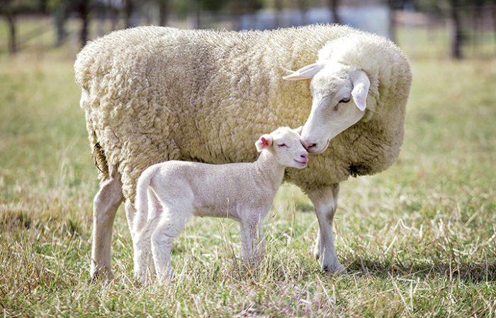 Tacka med lamm