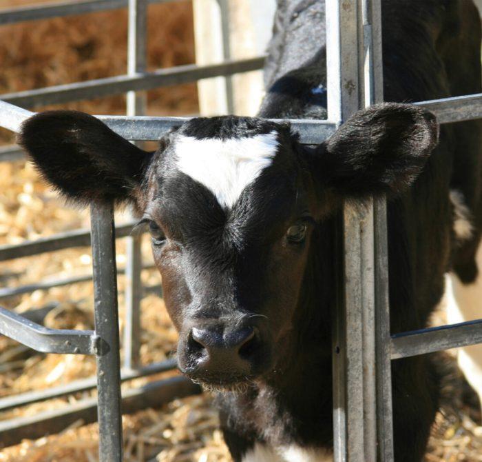 Kalv i box som sticker ut huvudet genom gallret