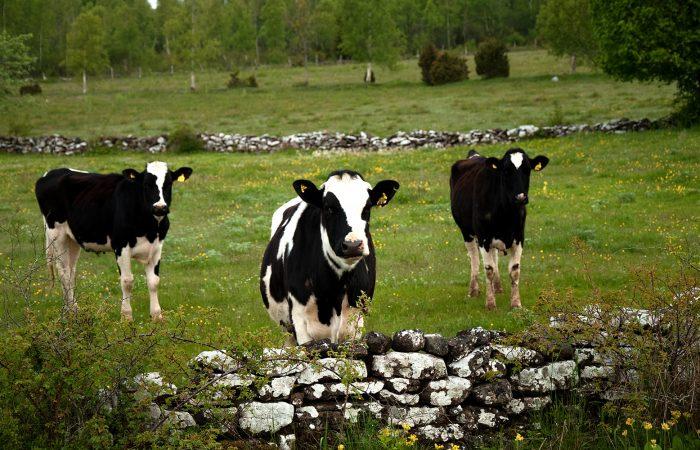 Svartvita kor på ett fält omgivet av en stengärdsgård